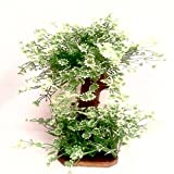 Veena Artificial Bonsai tree of tiny white daisies