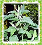 50+ Lambs Quarter Seeds ~ Delicious Baby Greens ~ Pigweed Wild Spinach Goosefoot