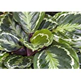Medallion Prayer Plant - Calathea - Easy House Plant