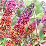Butterfly Bush (Buddleia) Bicolor - LIVE PLANT - Blooms THIS Summer!