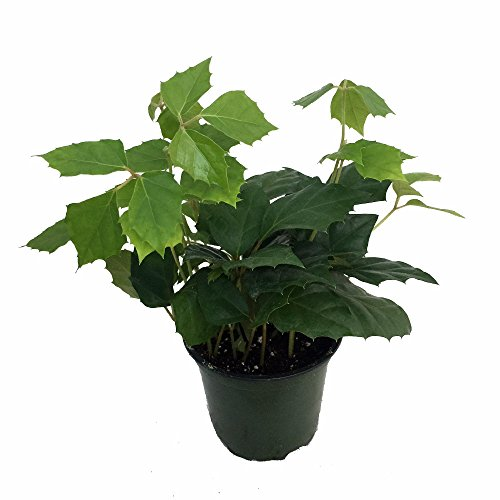Grape Ivy Plant - Cissus rhombifolia - Great House Plant - 4