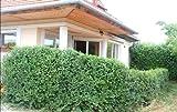 25 x WonderHedge.co.uk hedge plant Gardening Hedges and Native Hedging Plants Garden Hedge Nurseries