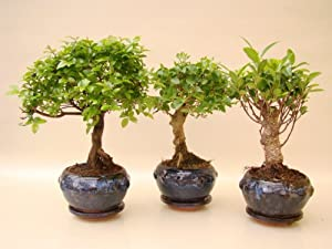 bonsai sageretia liguster ficus ca 5 jahre alt ca 25 29 cm hoch im set garten. Black Bedroom Furniture Sets. Home Design Ideas