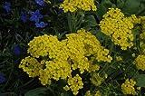 Alyssum Saxatile Summit plants 9cm top quality Lincolnshire grown Alpine plants
