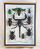 Real Beetles Mix Mounted Bug Scorpion Insect Assorted Taxidermy Entomology Display Boxed Collectible