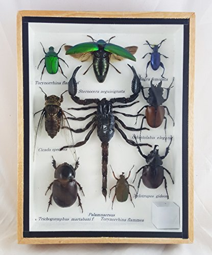 real-beetles-mix-mounted-bug-scorpion-insect-assorted-taxidermy-entomology-display-boxed-collectible