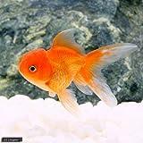 (金魚)バルーンオランダ獅子頭/バルーンオランダシシガシラ(1匹) 本州・四国限定[生体]