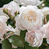 White & Cream Roses Seeds by E Garden