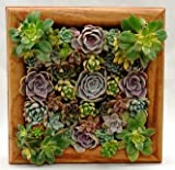 Square Pre-populated Succulent Living Wall with Redwood Box