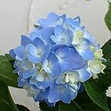 四季咲きアジサイ:霧島の恵み3号ポット[初秋に美しい花が咲くあじさい]