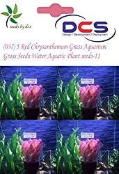 DCS(037) 5 Red Chrysanthemum Grass Aquarium Grass Seeds Water Aquatic Plant Seeds-11