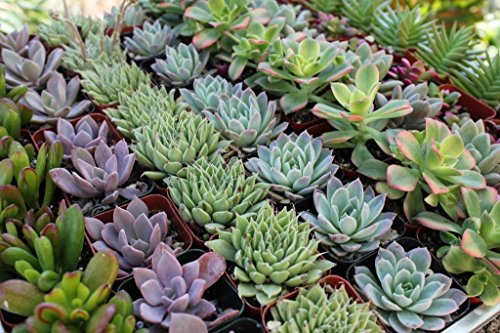 64 Rosette Only Succulents: Wedding Collection Party/shower Favors By Jiimz