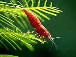 12 Painted Fire Red Cherry Shrimp - Totally Solid Red by Aquatic ArtsTM