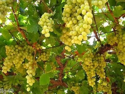 #1128 WHITE CONCORD GRAPES 5 SEEDS