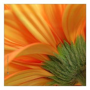 Orange Gerbera Petals - Gallery Wrapped Canvas Giclee (24x24x1.5) - Modern Wall Art