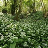 Wildflower - Ramsons, Wild Garlic - 200 Seeds