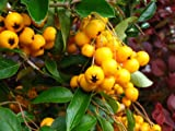 PYRACANTHA GOLDEN CHARMER 1 LTR Plants