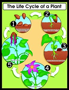 Tree Activities For Kids as well Apple Life Cycle Sequencing in addition File tiny loser chamber in bfdia 2 as well Clip Art Pumpkin Life Cycle Color 50017 together with Pumpkin Life Cycle Clipart. on flower life cycle cards