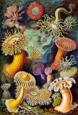 Actiniae Nature Art Print Poster by Ernst Haeckel - 13x19
