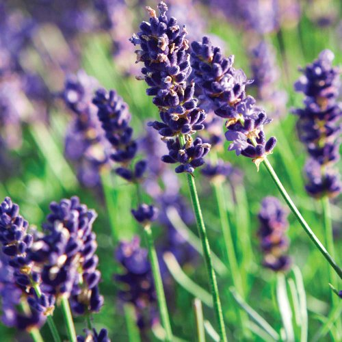1 X Lavandula Angustifolia Munstead In A 9cm Pot - Herb - Hardy Perennial Plant - Flowering Plants Shrubs