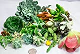 Fat Plants San Diego Twenty Five Small Succulent Cuttings
