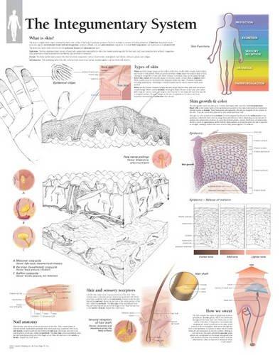 Human Skin System Integumentary Largest Organ List Of