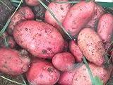 8 Taylor's Sarpo Mira Seed Potato Tubers, blight & virus resistant