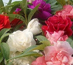 Balsam Camellia Mixed Flower Seeds Impatiens balsamina 50 Seeds Pack by Seedscare India