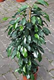 Indoor Plant -House or Office Plant -Ficus Benjamina- Green Weeping Fig 80cms Tall- NOW REDUCED