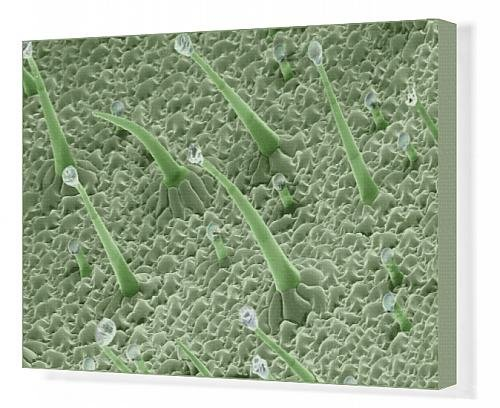 Canvas Print Of Scanning Electron Micrograph (Sem) Leaf Hairs - Of Dicot Plant Showing From Ardea Wildlife Pets