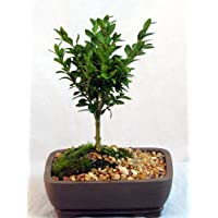 Japanese Boxwood Bonsai Tree - Buxus - Indoors/Out