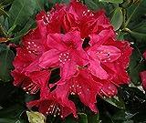Nova Zembla Red Rhododendron - Live Plant - Quart Pot