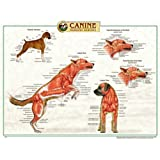Canine Muscular System Anatomical Chart Styrene Plastic