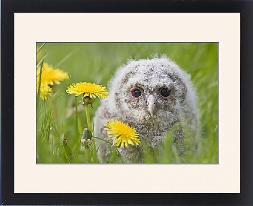 Framed Print Of Tawny Owl - Youngster In Meadow front-1064631