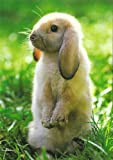 Postkarte kleines Kaninchen ~ Zwergwidder