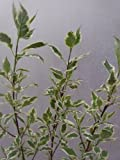 CORNUS alba Elegantissima - Variegated-Leaf Dogwood - 5 Litre Pot