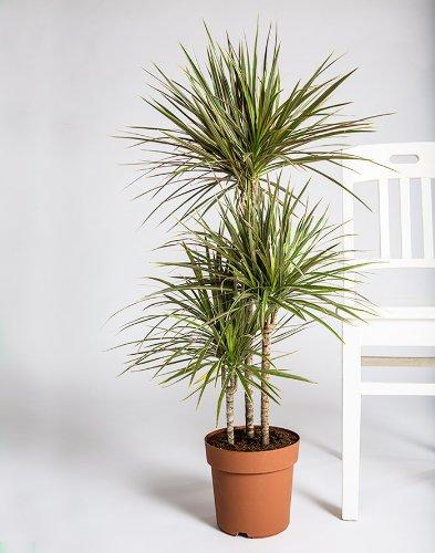 pin dracaena marginata fragrans tout voir entendre mais ne. Black Bedroom Furniture Sets. Home Design Ideas