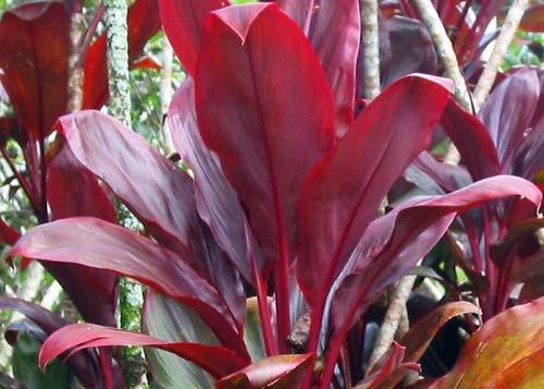 Hawaiian Red Ti Plant Logs ~ Grow Hawaii (For Ti Plant compare prices)