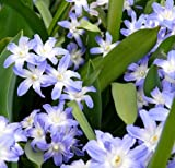 Amazon / Hirts: Bulbs; Chionodoxa: Blue Giant Glory of the Snow 20 Bulbs - Chionodoxa - 5/ cm Bulbs