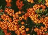 1X 3-4FT LARGE PYRACANTHA TETON PLANT - EVERGREEN FIRETHORN SHRUB - 3L