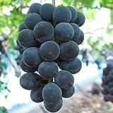 【ぶどう苗木】ブラックオリンピア 12cmポット苗