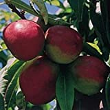 1X 4FT MINI DWARF PATIO NECTARINE FRUIT TREE - UK HARDY - RARE - 7.5L
