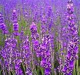 500 TRUE ENGLISH LAVENDER VERA Lavender Augustifolia Vera Herb Flower Seeds