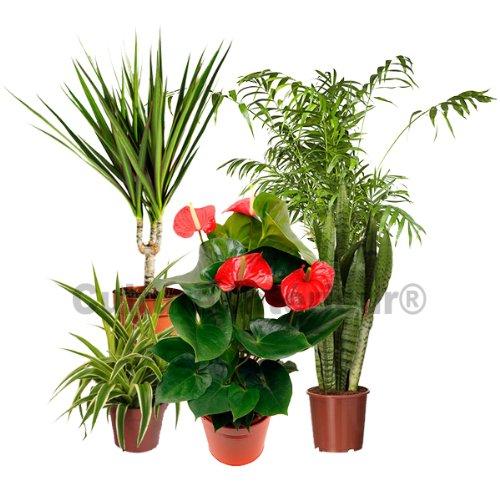 Bonsa ficus microcarpa ginseng avec pot c ramique blanc 12cm hauteur 35cm - Puceron blanc plante verte ...