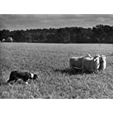 Sheep Dog Trials Kent Photographic Poster Print