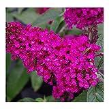 "'Buzz' Hot Raspberry Buddleia Butterfly Bush - Perennial - 4"" Pot - Healthy Live Plants - 3 Plants"