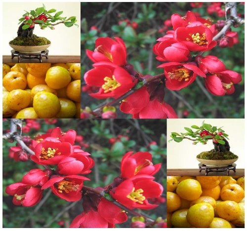 20 Japanese Flowering Quince, Chaenomeles Japonica, Tree Seeds (Hardy, Fragrant) - Zones 4 - 9