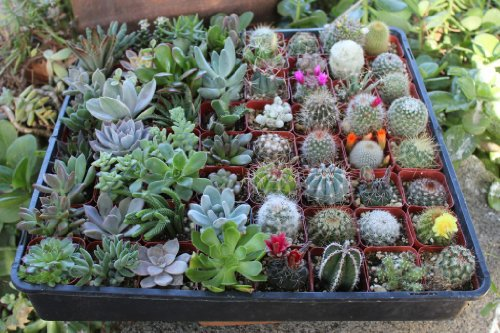 Awesome Collection of THIRTY SIX (36) Unique Cactus and Succulents No Two Alike