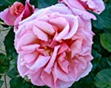 Rosa 'Aloha' (Rose 'Aloha') 4.5l or 6l rose pot