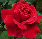 "Sub Zero Hybrid Tea Rose Plant - Mister Lincoln, Red, Bush, Nice 12-18"" Tall Rose Plant"